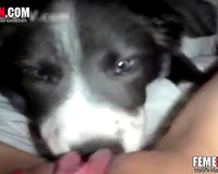 Pervert woman selie films as dog licking her pussy